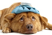 Sad dog with ice pack on head; Avoid being sick as a dog this flu season