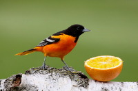 Baltimore Orioles Love Oranges