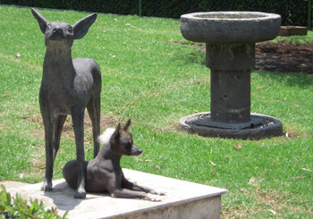 Statue of Xoloitzcuintle, an ancient hairless breed, with the real thing; Museo Dolores Olmedo, Mexico City