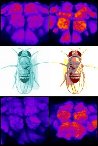 Researchers have discovered that proteins  build up in the brains of sleep-deprived fruit flies and drop to lower  levels in the brains of the well-rested
